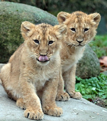 asiatic lion Blijdorp 094A0351 (j.a.kok) Tags: animal asia azie asiaticlion aziatischeleeuw blijdorp mammal zoogdier dier predator leeuw lion pantheraleopersica