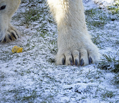 polar paw (dan487175) Tags: white whitefur wildlifepark wet wiskers walking eyes eating eye toes yourkshire tamron ywp yorkshire yorkshirewildlifepark uk ursus ursinae urso ursusmaritimus unitedkingdom fur icebear orso outdoors paws polarbear playing polar projectpolar preditor animal adorable animals antics snow silly dayout doncaster day fun food feet grass green giant head happy bjørn kuma zoo muzzle claws colour vegetable bear blackeyes nikon d800 mammal male mouth black claw blackclaws meat closeup up close corn sweet yellow cold 2019 sharp