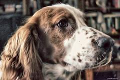 Logan (gabi-h) Tags: logan dog spaniel welshspringerspaniel pet animal gabih portrait lowlight puppy