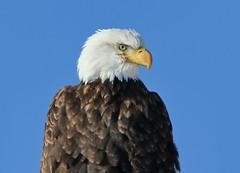 January 1, 2019 - A fantastic bald eagle portrait. (Bill Hutchinson)