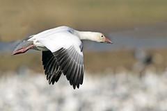 Snow Goose (Alan Gutsell) Tags: snowgoose snow goose white anahauc nationalpark wildlife refuge texas texasbirds gulfcoast alan