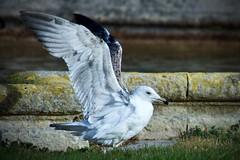 Gabian 4 (thierrybalint) Tags: wings ailes oiseau bird oiseaudemer parc park borely marseille nikon nikoniste balint thierrybalint faune nature
