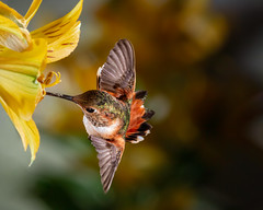 Fancy Flying (Patricia Ware) Tags: allenshummingbird alstroemeria backyard birdsinflight california canon manhattanbeach multipleflash selasphorussasin tripod ©2018patriciawareallrightsreserved specanimal