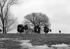 cemetery-wreaths (kaumpphoto) Tags: mamiya nc1000s kodak tmax 3200 be black white winter cemetery wreath ribbon bow hill grass lawn snow tree branches sky pinecone ritual decoration memorial