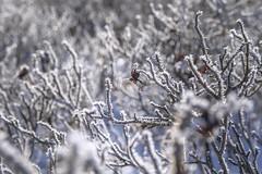 Frozen rosehip (A blond-Tess) Tags: frost frozen frosty winter winterdays winterlight canonphotography bokeh dof rosehip outdoorphotography plant cold coldspell coldweather nature ilovenature mothernatureatherbest