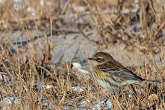 Yellow-rumped Warbler (mattbpics) Tags: canon 70d tamron 150600 150600mm yellowrumpedwarbler warbler longbeach stratford easierm