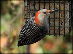 DSCN0739-2 (DianeBerky19) Tags: bird backyardbird nikon coolpixp1000 woodpecker redbelliedwoodpecker