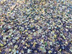 Maple Leaf Rug (Chris Morriss) Tags: england derbyshire autumn mapleleaves asherlane cromfordcanal