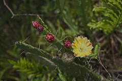 Flor de cactus (mcvmjr1971) Tags: yellow ilha do pontal piratininga lagoa nikon mmoraes d800e lens sigma 2435 art