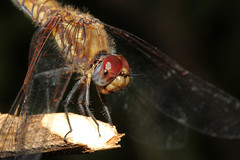 Trithemis annulata ♀ (Violet Dropwing) - Entebbe Uganda (Nick Dean1) Tags: trithemisannulata dragonfly violetdropwing odonata animalia arthropoda arthropod hexapoda hexapod insect insecta uganda entebbe africa