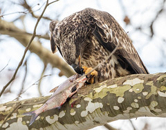 7K8A3220 (rpealit) Tags: scenery wildlife nature conowingo dam susquehanna river maryland immature bald eagle eating fish bird