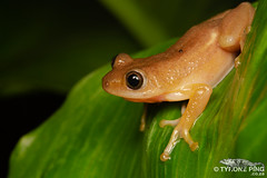 Afrixalus fornasinii - Great Leaf Folding Frog. (Tyrone Ping) Tags: afrixalus fornasinii great leaf folding frog amphibians amphibian amazing frogs frogging canon 100mmmacrof28 tyroneping south africa southern herps herping 5dmiii southafrica