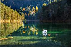 Federvieh in Herbstdekor! ;) (angelofruhr) Tags: supershot austria österreich schwan see reutte alpen fernpass zugspitzregion herbst autumn