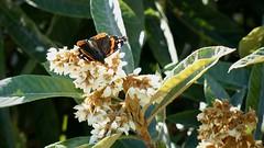 Escarbant en les flors del nisprer (rferrer7) Tags: mariposa butterfly papallona nature flower trees beauty minolta 50mm