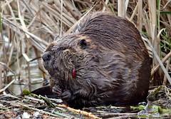 Canadian Beaver (in Explore 24-12 2018) (ChasingNature) Tags: beaver leech reeds water marsh animal