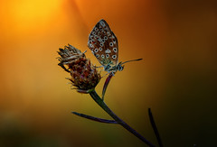 Deep sadness...! (♥ ⊱ ╮Juergen ╭ ⊰ ♥) Tags: nature music deep butterfly untouched outdoor sunset meadow