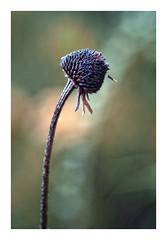 In fall (pusiga) Tags: hungary macro autumn fall flower bokeh light