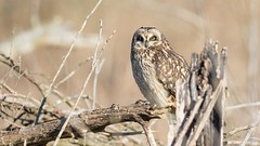 Short-eared Owl (Asio flammeus) (Tony Varela Photography) Tags: shortearedowl owl asioflammeus seow photographertonyvarela canon owlportrait