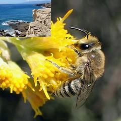 'Out of the Swing of the Sea'. Colletes dimidiatus, Halved Plasterer Bee, on Tenerife Stinkweed, Schizogyne sericea, Barranco Hocico del Perro, La Caleta, Tenerife, Spain (Rana Pipiens) Tags: apocalypsebible colletesdimidiatus halvedplastererbee gerardmanleyhopkins houndssnoutbarricolacaletacostaadejetenerifecanaryislandsspain barrancohocicodeperro costaadeje tenerife spain barrancodelperrolacaletatenerifespain sea schizogynesericea tenerifestinkweed bee wildbee