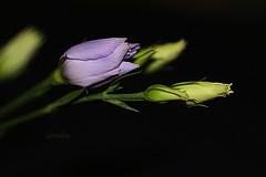 Lisianthus Buds (abrideu) Tags: abrideu canoneos100d lisianthus macro flower flowers depthoffield bright bokeh