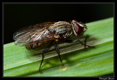 Leucophora sp. (cquintin) Tags: arthropoda diptera anthomyiidae leucophora