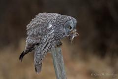 Great Gray Owl (Turk Images) Tags: greatgrayowl strixnebulosa alberta birds boreal ggow owls strigidae thorhild fall hunting