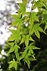 2018 Sydney: Spring Maple Leaves (dominotic) Tags: 2018 springmapletree leaf green mapleleaf bokeh shadow sydney australia