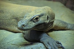 Komodo (Peter I. Fifield Photography) Tags: bronxzoo wildlifeconservationsociety bronx newyork