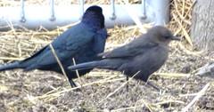 Dec13,2018 DSC01563 Brewer's Blackbirds (terrygray) Tags: blackbirds cowbird