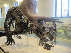 Triceratops (edenpictures) Tags: fossil bones skeleton skull prehistoric extinct dinosaur newyorkcity nyc manhattan americanmuseumofnaturalhistory amnh naturalhistorymuseum museum upperwestside