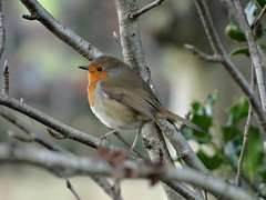 Christmas Robin (Ian Robin Jackson) Tags: robin seasonal christmas december nature wildlife scotland tree aberdeen citywildlife flickr sony feathers ornithology advent commonbirds red redbreast songbird merrychristmas