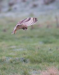 Short eared owl (Photo Crazy Rob) Tags: seo shortearedowl steart birds owls nature somerset wildlife rc nikon d500 december