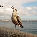 St. Ives juvenile gull, UK