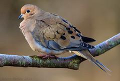 Mourning Dove (Arvo Poolar) Tags: ontario outdoors arvopoolar whitby bird perched nature naturallight natural nikond7000 naturephotography mourningdove birdofprey raptor