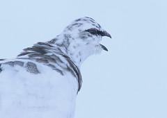 Ptarmigan (Ally.Kemp) Tags: ptarmigan scottish scotland winter cairngorm mountain aviemore grouse portrait calling male