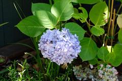 Hydrangea (zassle) Tags: flora flowers hydrangea camera:make=fujifilm geocountry geocity geostate exif:lens=xf18135mmf3556rlmoiswr exif:aperture=ƒ56 exif:focallength=833mm exif:model=xpro2 exif:make=fujifilm geolocation exif:isospeed=320 camera:model=xpro2