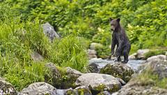 Tender standing bear-cub (paolo_barbarini) Tags: bear orso cub cucciolo animals animali mammals mammiferi nature natura wildlife kamchatka russia