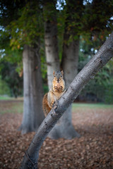 Holding a walnut in solemn respect, Marigold spent much of Día de los Muertos in her favorite tree. (HellaDamnSquirrels) Tags: squirrels rodent oakland lake merritt hella damn