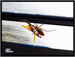 Praying Mantis Mating (FotoCheez) Tags: otocheez insects bee honey seattle light refraction macro green screen fun river happy working flowers bugs dog roll animal color snow fall summer winter spring autumn fire architecture art fx beach bird blue boat bridge building butterfly washington flower pretty beautiful christmas prism city gsd clouds coast fish red fog forest garden grass cold house ice island lake landscape leaf leaves hike camera music test seahawks cannabis love life trump prayingmantis helperbees mating