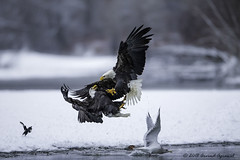 Get out of the way, Giants are fighting - IMG_5598-1.1 (arvind agrawal) Tags: baldeagle eagle magpie gull chilkatbaldeaglepreserve haines alaska bird wildlife raptor birdofprey snow river salmon canon 1dx 600 f4 arvindagrawal