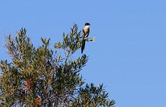 Iberian Magpie (Wild Chroma) Tags: cyanopica magpie birds passerines ludo faro portugal algarve riaformosa cooki cyanopicacooki