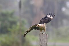 Milvago chimachima (mazama973) Tags: bird oiseau frenchguiana guyanefrançaise falconidae milvagochimachima caracaraàtêtejaune yellowheadedcaracara