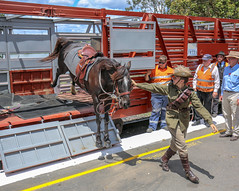 Photo 2. Australian light horses detraining for Memorial Day Service 11 November, SwanBank Station Ipswich. (Lance CASTLE) Tags: detraining horse railcarriage stockcrate qpsr queenslandrail queensland swanbankipswich action animal movement auto event remembrance animals