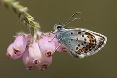 Heideblauwtje (mariandeneijs) Tags: heideblauwtje blauwtje plebejusargus boetelerveld vlinder butterfly