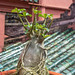 Young Potted Bonsai Tree in a local Pagoda in Ho Chi Minh City