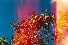 Orange Tree (The Foreign Fox) Tags: analog film analogue 35mm minolta x300s agfavista agfa onepoundfilm orange orangetree tree light lightleek firstoftheroll green leaf sky blue january