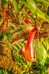 Nepenthes alata / Кувшиночник (VikTori_kvl23) Tags: plantescarnivores непентескрылатый nepenthesalata nepenthes nepenthesalatablanco кувшиночник plantes nature insectivora carnivore plant carnivoreplant outdoor pitcherplant