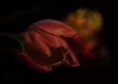 My favorite Flower (ursulamller900) Tags: tessar2850 tulips tulpe rot red bokeh dark flower blume