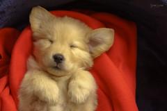 Agata 57 dias - GEA00689 (gedaesal) Tags: puppy goldenretriever pet dogexpression doghead dogportrait sleeping sweet dreams sonya7mii sweetdreams sigma105mmf28macro gedaesalgmailcom