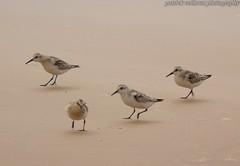 Sanderlings (patrickcolhoun) Tags: sanderlings buncrana beach birds nature wilflife animal birdwatch donegal ireland